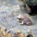 Toad (Duttaphrynus melanostictus), juvenile