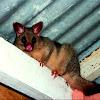 Common Bushtail Possum