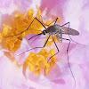 Mosquito (Male)