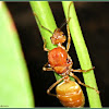 Mated Queen Green Ant