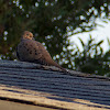 (Male) Mourning Dove