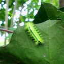 Slug Moth Caterpilla