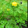 Kullero; Globe-flower