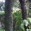 Árbol de Mezcal