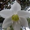 [S] Amazon Lily