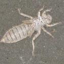Dragonfly larva