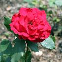 Hybrid Tea Rose 'Olympiad'