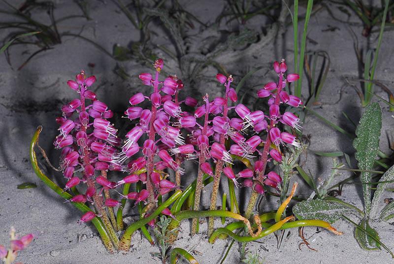 Lachenalia juncifolia