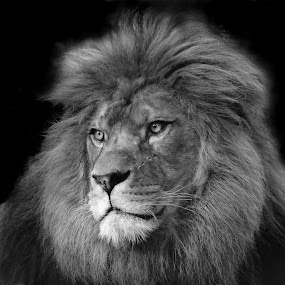 Lion by Selena Chambers - Black & White Animals ( wild cat, big cat, lion, cat, barbary lion, zoowatch, zoo, animals, , black and white, animal )