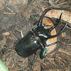 Three Horn Rhino Beetle