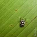 Zebra Fungus Beetle